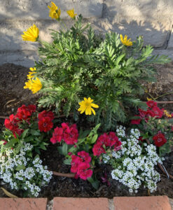 A simple planting of a yellow dairy bush, red Dianthus and white Alyssum by The Potted Desert