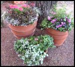 Beautiful Pinks Still Grace Three Pots of Winter Plantings