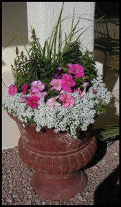 Winter Color in pots